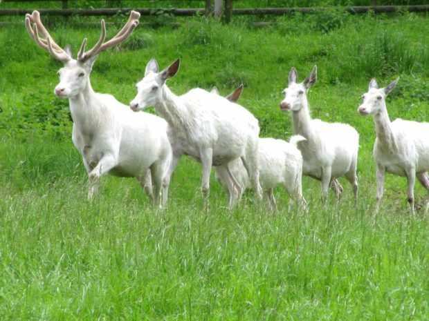 Белые олени - редкий вид