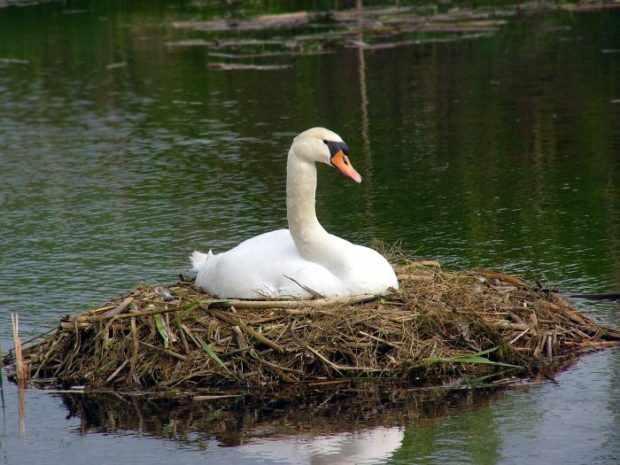 Лебедь на гнезде