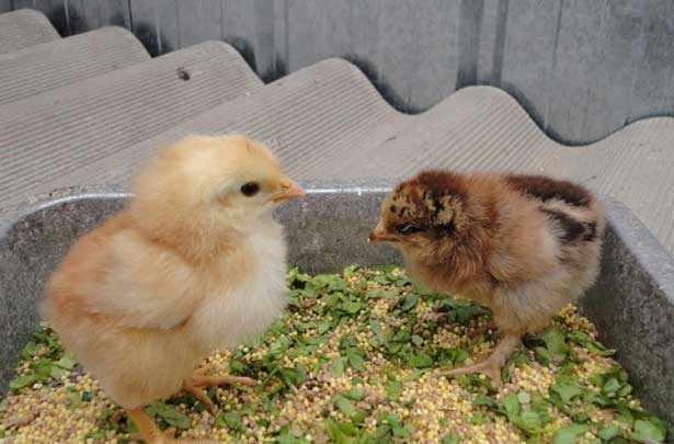 Кормление цыплят мешанками