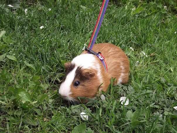 Свинка гуляет на поводке