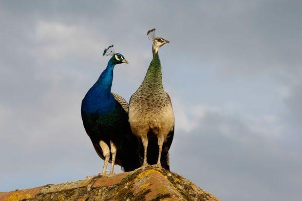 Самец и самка обыкновенного (индийского) павлина