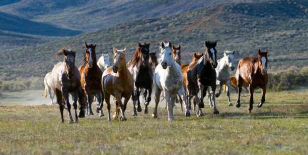 Дикие лошади живут меньше одомашненных