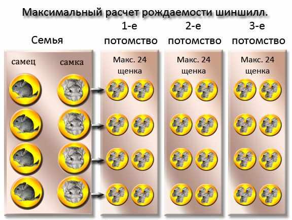 Количество потомства от одной пары шиншилл