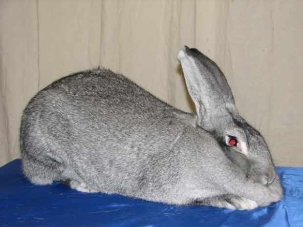 Кролик шиншилла британская