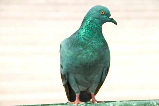 Подвид Нигриканс также относится к сизым голубям