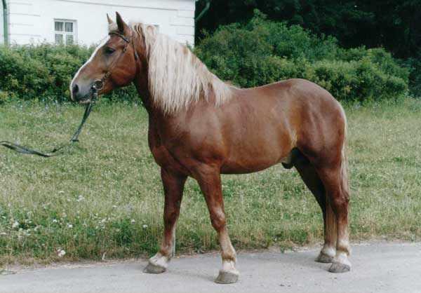 Тяжеловозная порода лошадей