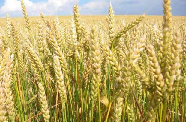 Поле яровой твордой пшеницы