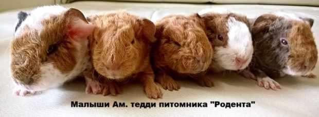 Свинки тедди из питомника
