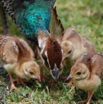 Пава и птенцы обязательно должны гулять на траве