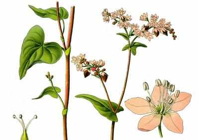Строение растения гречихи