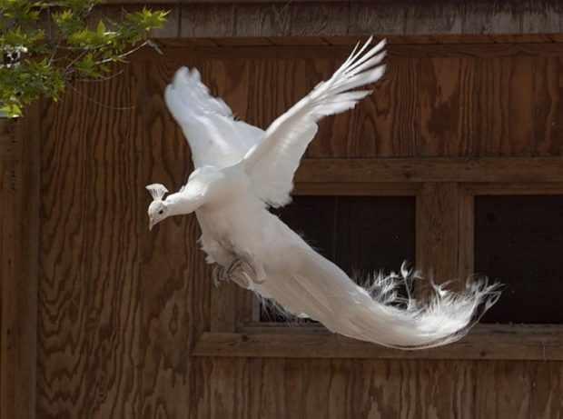 Полет белого вида павлина