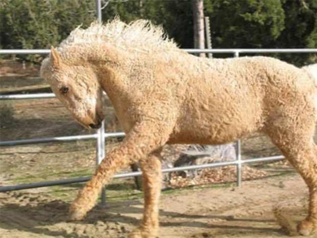 Американская курчавая порода лошадей