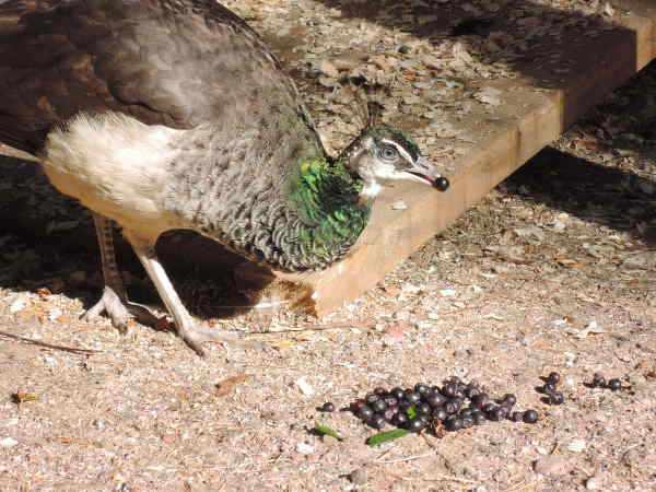 Ягоды для павлинов - полезная добавка