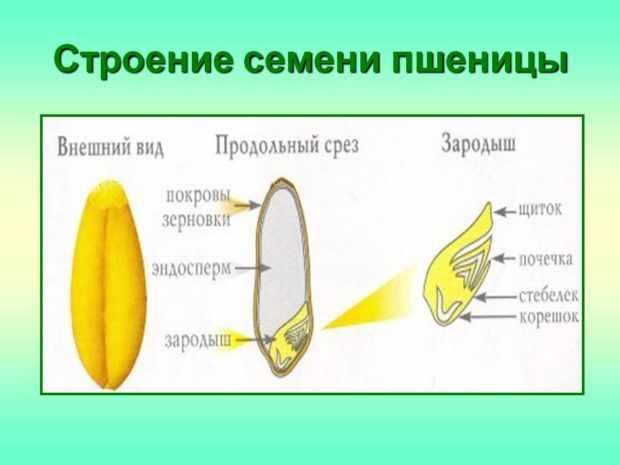 Строение зерновки