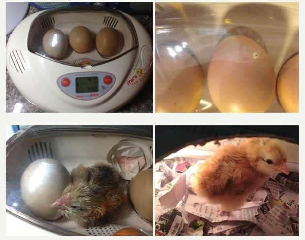 Digital Egg Incubator Rcom Mini