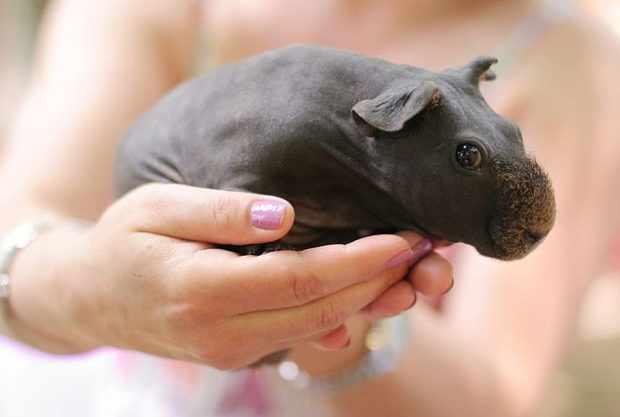 Лысая свинка болдуин