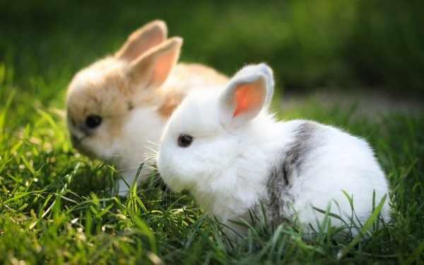 Короткошерстые карликовые кролики