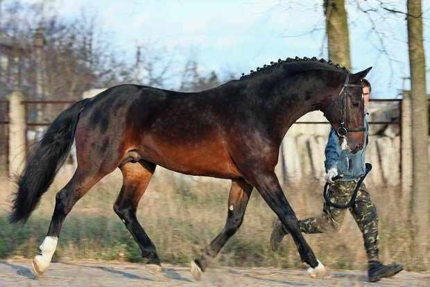 Ганноверская порода коней