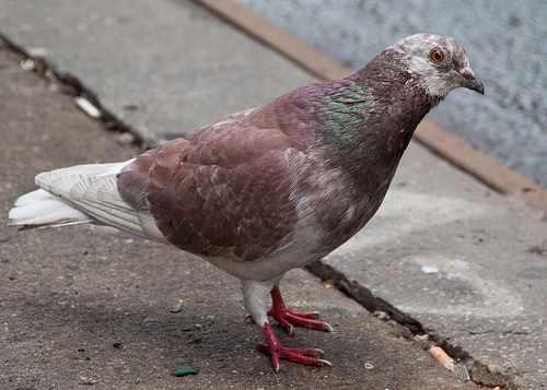 Интермедиа -разновидность сизых голубей