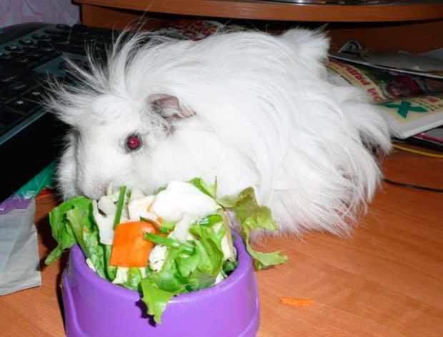 Белая ангорская свинка