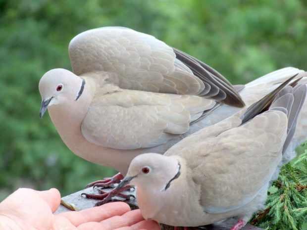 Кольчатые горлицы - распространенная птица