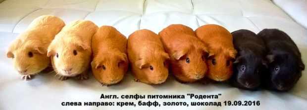 Свинки английские селфы из питомника