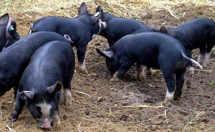 Кемеровские свиньи