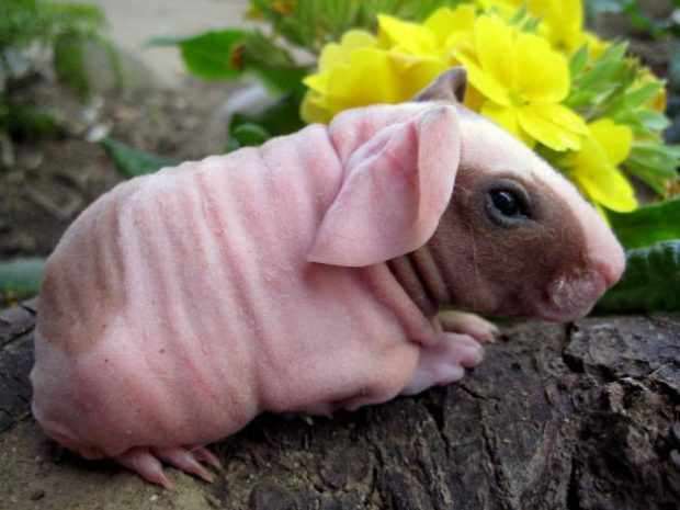 Свинки скинни живут меньше всех