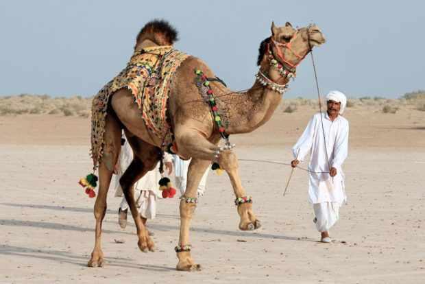 Одомашненный одногорбый верблюд используется в хозяйстве