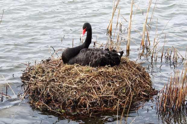 Гнездо черного лебедя