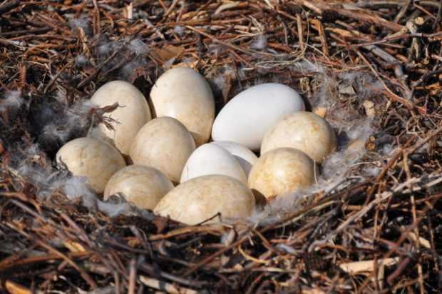 Гнездо трубачей с яйцами