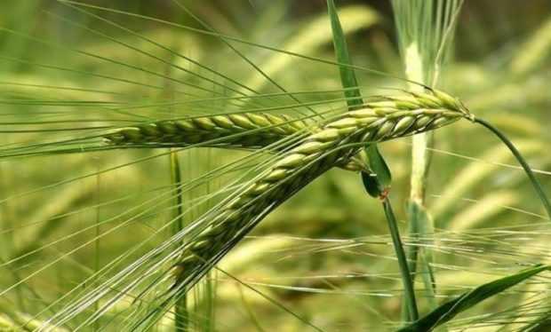 Пшеница Тритикале