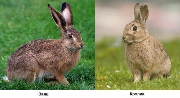 Заяц и дикий кролик