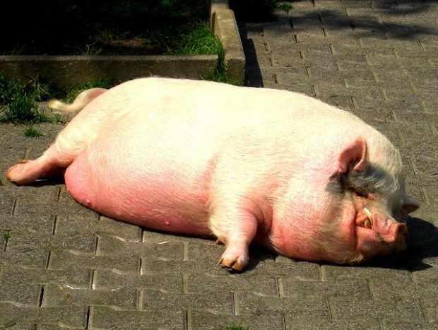 Свинья на сало требует других кормов, чем на мясо