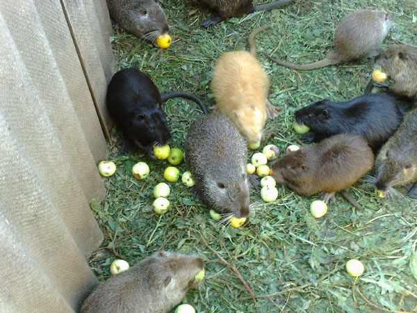 Фрукты и овощи в рационе нутрий