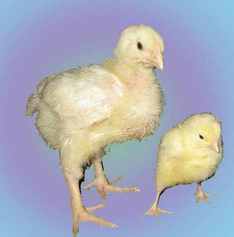 Бройлерный и обычный цыплята одного возраста - 1 неделя
