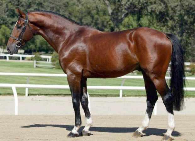 Голштинская порода - лошадь