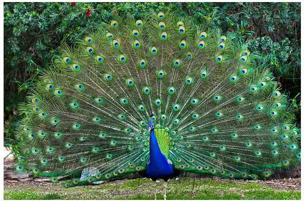 Синий или обычный павлин