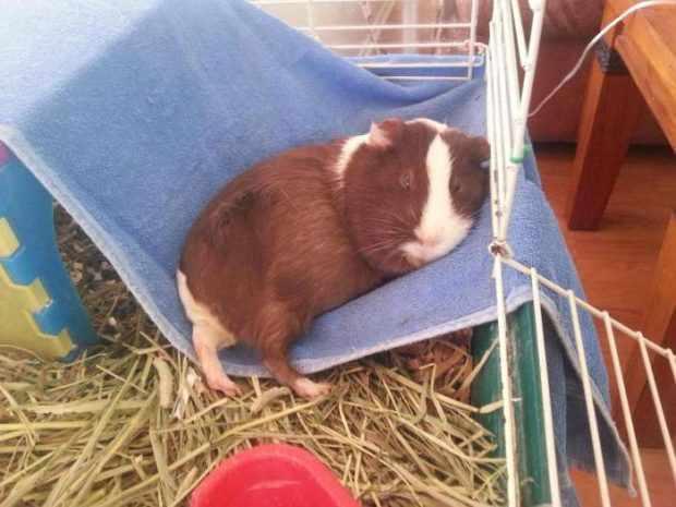 Гамачок из полотенца для свинки