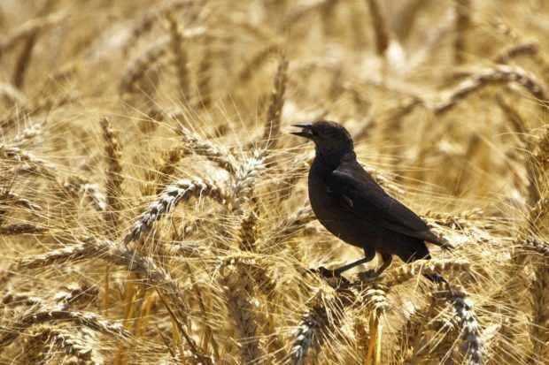 Поле дикой пшеницы