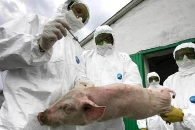 Карантин на чуму свиней - животных унижтожают