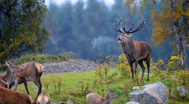 Стадо оленей в лесу
