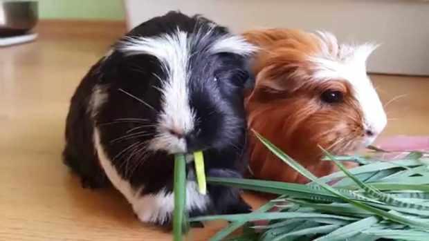 Свинки едят пырей