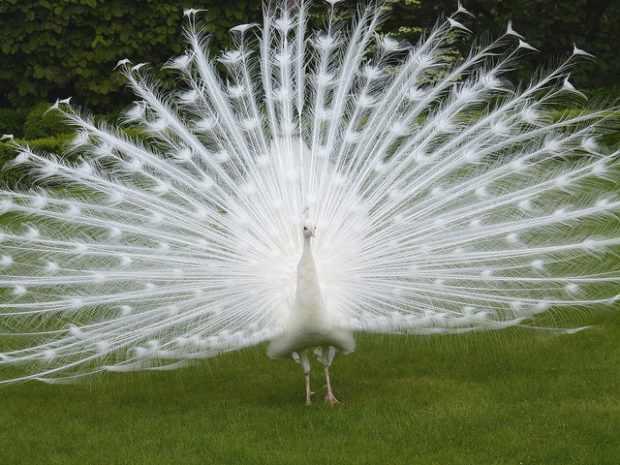 Распущенный хвост белого павлина