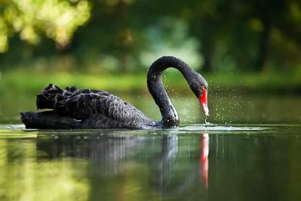 Черный лебедь - птица Австралии