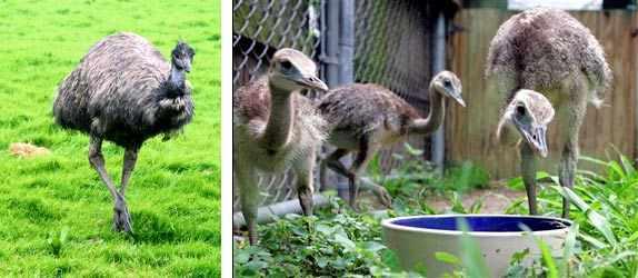 Полуинтенсивное кормление страусов