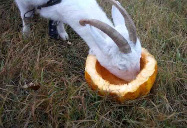 Тыква для коз