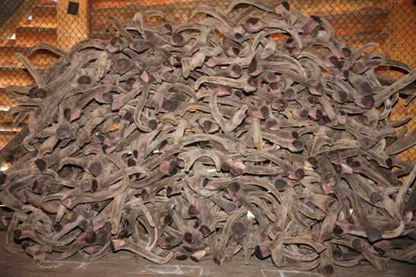 Панты оленя - ценный продукт оленеводства