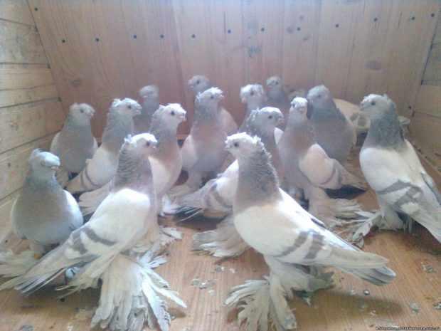 Узбекские чубатые голуби