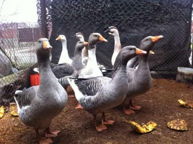 Серые крупные домашние гуси